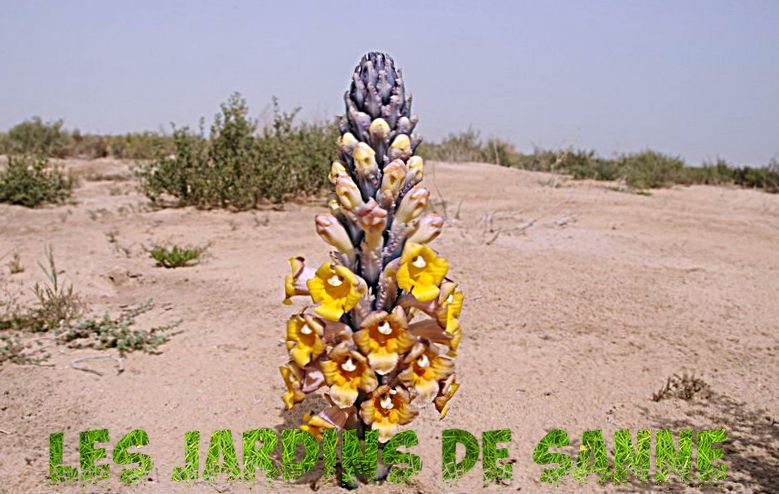 What is Desert Hyacinth: Information on Desert Cerințe de creștere