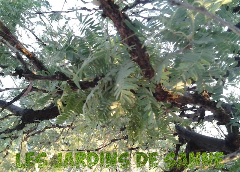 Velvet Mesquite Care: How To Grow A Velvet Mesquite Tree