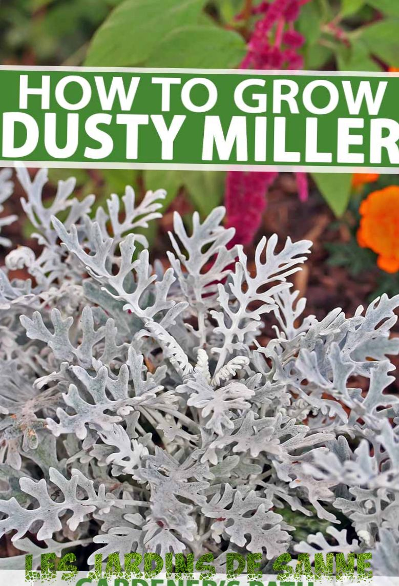 Dusty Miller Plant: Tips för Dusty Miller Care