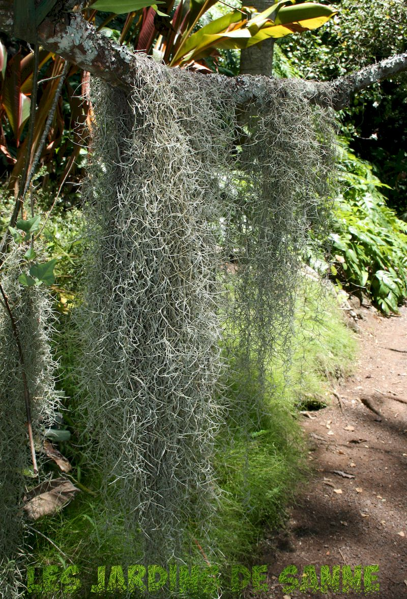 Spanish Moss Information - The Spanish Moss Elimination For You