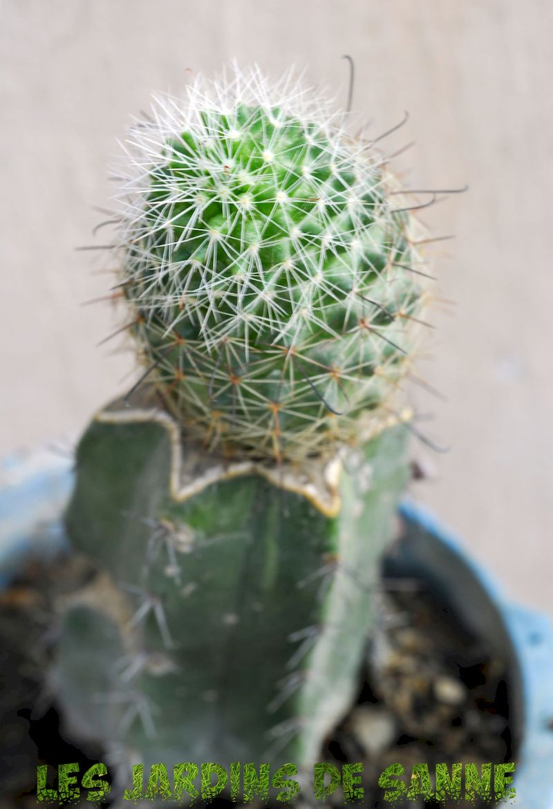 Cactus Grafting Guide - How To Graft A Cactus Plant
