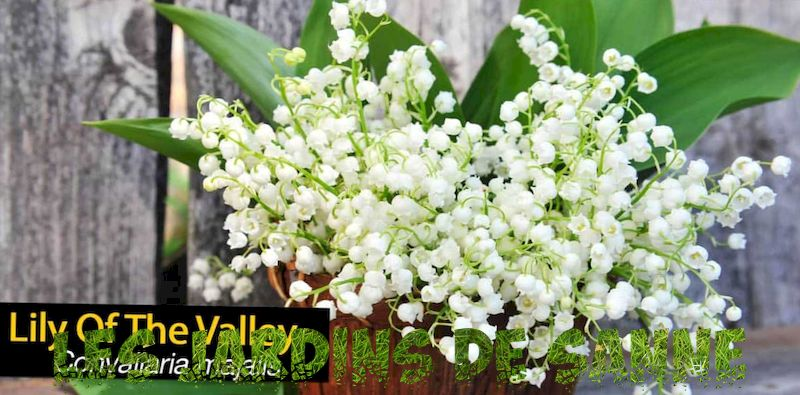 Plantarea Lily Of The Flowers - Cum să crești Lily Of The Valley Plantele