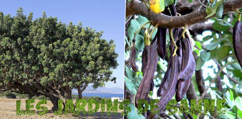 Carob Growing in the Garden - Carob Tree Information and Care