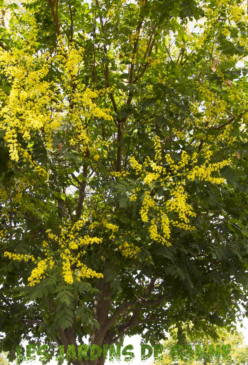 What is A Golden Raintree - Guide To Growing Raintrees de Aur