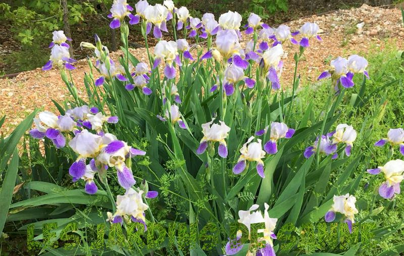 Iris Plants - Tips for Growing Iris