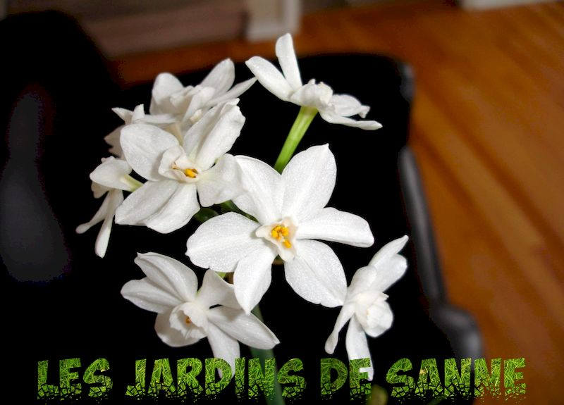 Germinating Paperwhite Semeds - Plantând Paperwhites from Seed - Gardening Know How