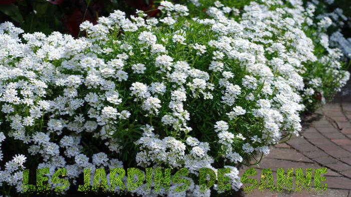 Candytuft Plant: How to Grow Candytuft