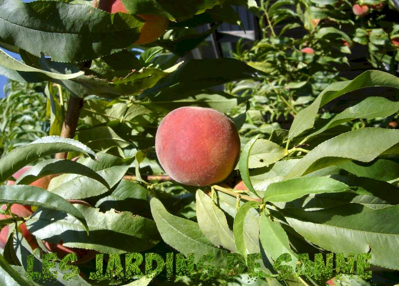 Suncrest Peach Tree Info: Aflați cum să crească Suncrest Peaches