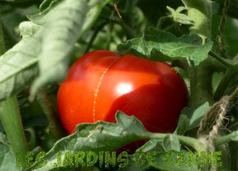 Costoluto Genovese Heirlooms: Growing a Costoluto Genovese Plant Tomato