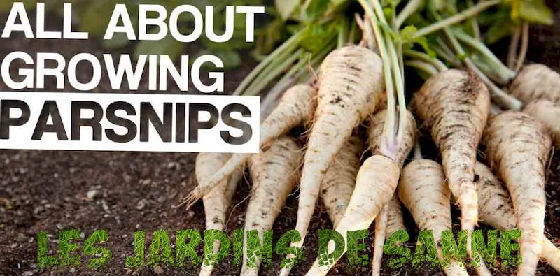 Parsnips overwintering: How to Grow Parsnips in Winter