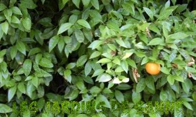 Orange Tree Not fruiting - De ce ai câștigat ' t Un arbore de portocale produce
