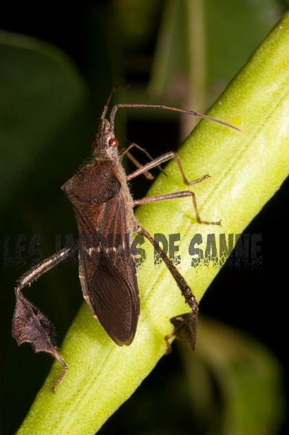 Ce sunt Bugs footed footed: Aflați despre Leaf footed Bug Damage