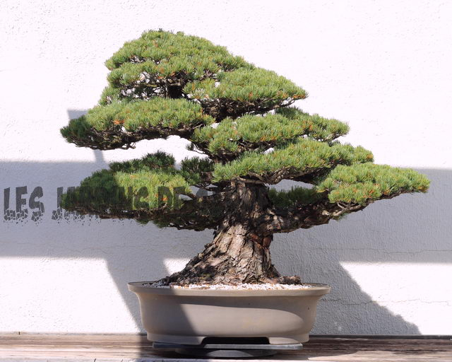 Bonsai Copaci: Informații despre Bonsai