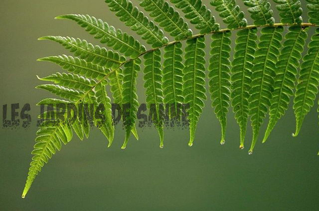 Boston Fern cu frunze negre: revigorarea fronturi negre pe Boston Ferns
